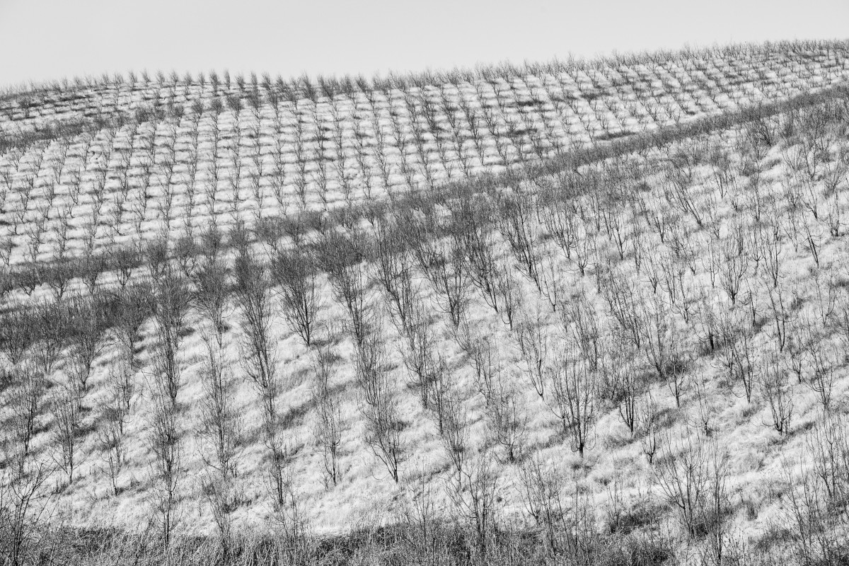 Rows of dying trees in a parched orchard.